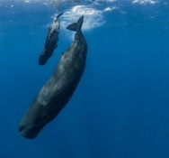 Whale and dolphin research expedition in the Caribbean