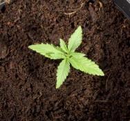 40 mayors call on next Dutch government to legalise marijuana